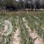 En el estado, siete mil hectáreas siniestradas por el frío: Sedarh
