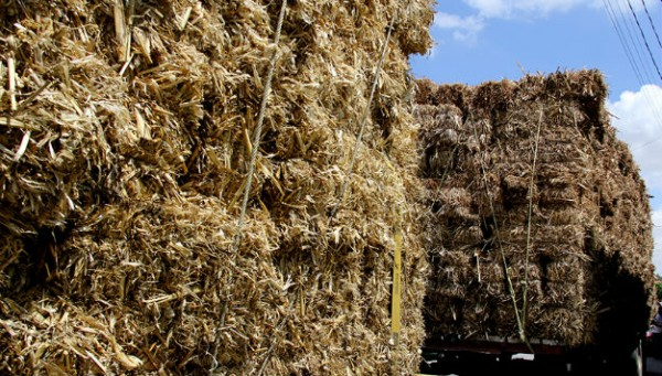 Heladas echaron a perder 800 hectáreas de alfalfa en Soledad